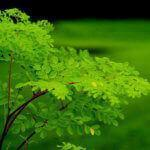 "Did You Know Moringa? The ""Miracle Vegetable"" With Huge Benefits To Our Health"